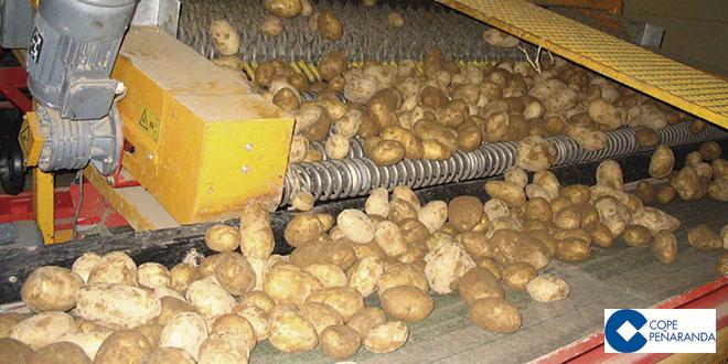 Trabajo de selección de patatas en una cooperativa de la comarca de Peñaranda