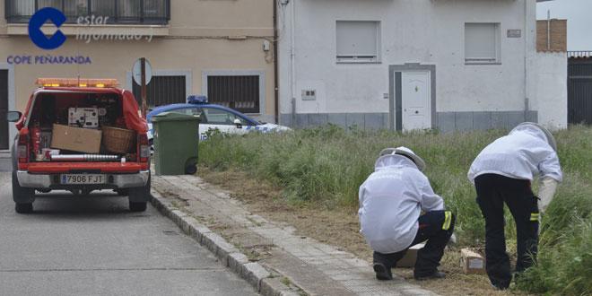 Los bomberos de Peñaranda tuvieron que intervenir para retirar los enjambres de abejas.