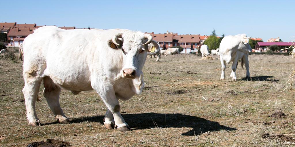 COAG denuncia que se usa el Covid-19 para bajar los precios que cobran los ganaderos